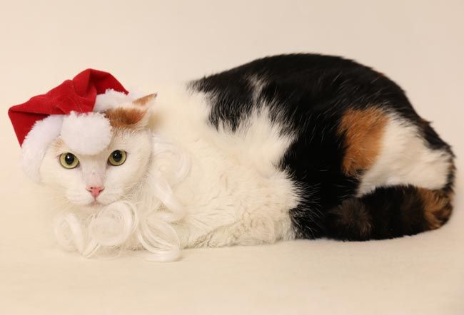 Mickey the Cat with santa hat